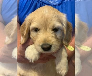 Golden Retriever Puppies For Sale Classifieds In Sanford