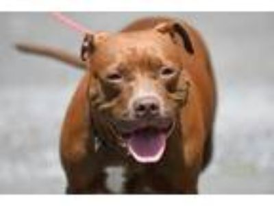 Adopt Layla a Brown/Chocolate - with White American Staffordshire Terrier /