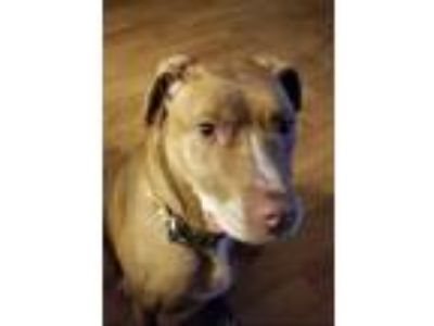 Adopt Sally a Pit Bull Terrier, Labrador Retriever