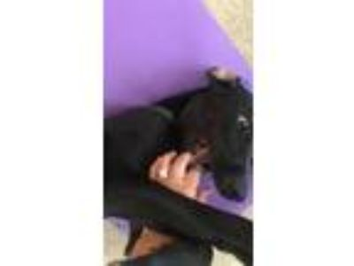 Adopt Colt a Black - with White Labrador Retriever / Hound (Unknown Type) dog in