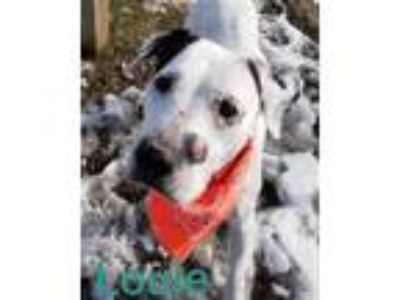 Adopt Louie a White - with Black American Pit Bull Terrier / Mixed dog in