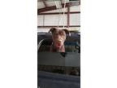 Adopt chocolate lab pit X a Labrador Retriever, Pit Bull Terrier