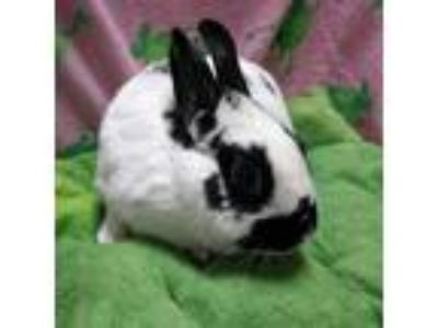 Adopt June a Black Other/Unknown / Mixed (short coat) rabbit in Wheaton