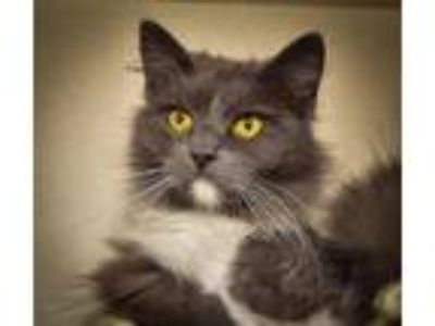 Adopt Stumpy a Domestic Longhair / Mixed cat in Cookeville, TN (25361394)