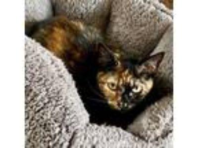 Adopt Suzie Q a Domestic Shorthair / Mixed (short coat) cat in Hoover