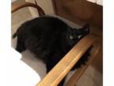 Adopt Cupcake a All Black Domestic Longhair cat in Clovis, CA (25333372)