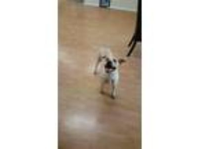 Adopt Bella a Tan/Yellow/Fawn Terrier (Unknown Type, Medium) / American Pit Bull