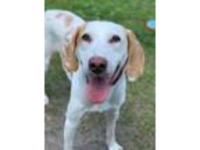 Adopt Wonder Woman a Tan/Yellow/Fawn Hound (Unknown Type) / Mixed dog in