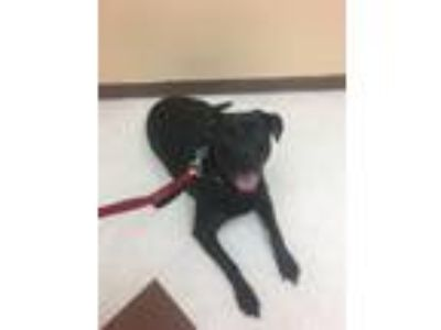 Adopt Murdoc a Black Rottweiler / American Pit Bull Terrier / Mixed dog in