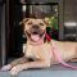 Beyonc Pit Bull Terrier Dog
