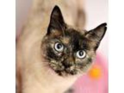 Adopt Haiku a Siamese, Domestic Short Hair