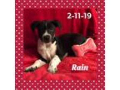 Adopt Rain a Black - with White Beagle / Border Collie / Mixed dog in DeForest