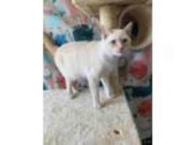 Adopt sammy a Orange or Red Siamese / Domestic Shorthair / Mixed cat in Joshua