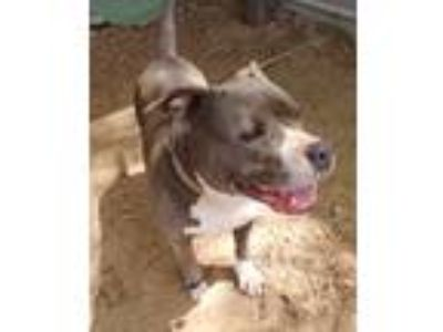 Adopt Medusa a Gray/Silver/Salt & Pepper - with White Pit Bull Terrier / Mixed
