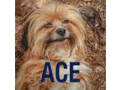 Adopt Ace a Shih Tzu, Yorkshire Terrier