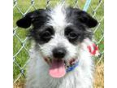Adopt Lily a Shih Tzu, Terrier