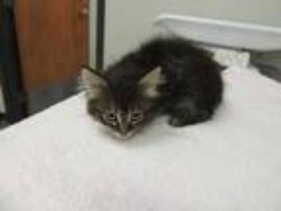 Adopt 3Male a All Black Domestic Longhair / Domestic Shorthair / Mixed cat in