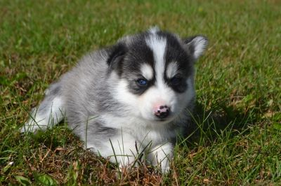 Pomsky PUPPY FOR SALE ADN-101566 - Pomsky Puppies