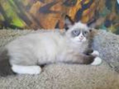 Adopt DAKOTA a Domestic Medium Hair, Snowshoe
