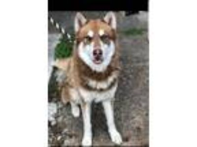 Adopt Balto a Brown/Chocolate - with White Husky / Mixed dog in Houston