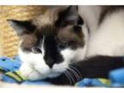 Adopt Chantilly a Snowshoe, Siamese