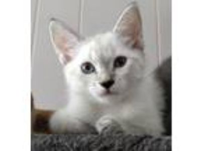 Adopt Pending! Charlotte a White American Shorthair (short coat) cat in Bowie