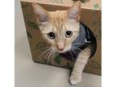 Adopt Toby a Orange or Red Domestic Shorthair cat in Rexburg, ID (25500904)