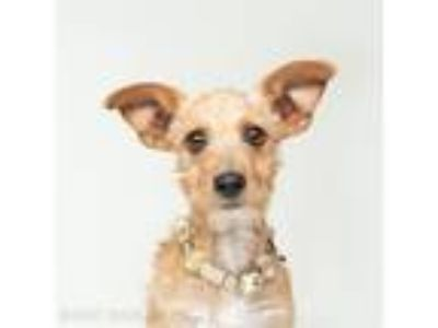 Adopt Popsicle a Irish Terrier / Mixed dog in Oakland, CA (25941881)