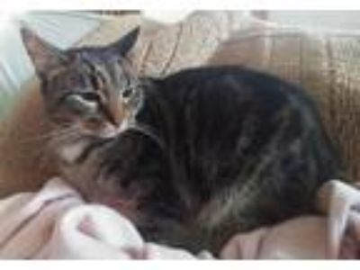 Adopt Little Tiger (LT) a Brown Tabby Domestic Shorthair / Mixed (short coat)