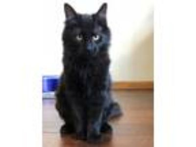 Adopt Hermatite (with Onyx) a All Black Domestic Longhair / Mixed (long coat)
