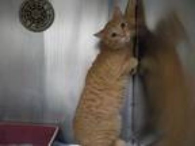 Adopt STEVEN a Orange or Red Tabby Domestic Shorthair / Mixed (short coat) cat
