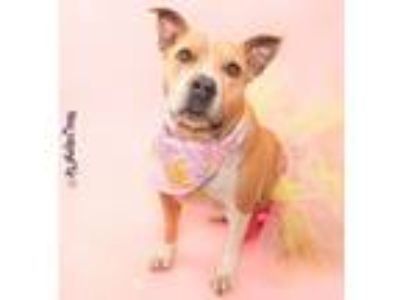 Adopt Chicken a Tan/Yellow/Fawn - with White American Staffordshire Terrier /