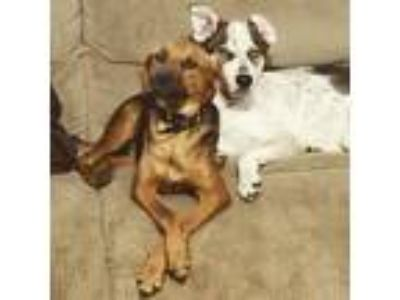 Adopt Dante a Brown/Chocolate - with White Husky / Australian Shepherd / Mixed