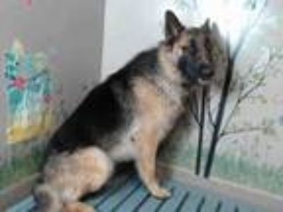Adopt TARZAN a German Shepherd Dog