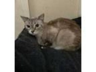 Adopt Mora a White Siamese / Domestic Shorthair / Mixed cat in Visalia