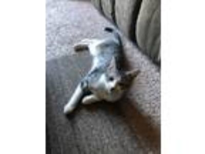 Adopt Felix a Domestic Shorthair / Mixed cat in Westmont, IL (25354118)