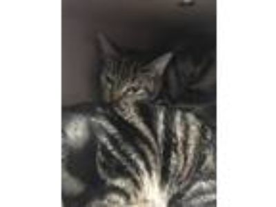 Adopt Polly a Brown or Chocolate Domestic Shorthair / Mixed (medium coat) cat in