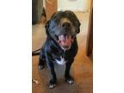 Adopt HARLEY a Black - with White Labrador Retriever / American Pit Bull Terrier