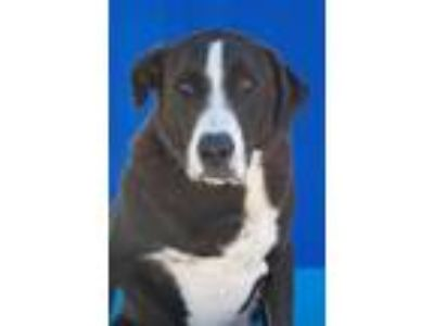 Adopt Tank a Labrador Retriever, Mixed Breed