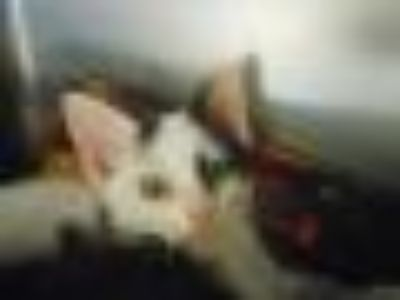 Olivia Domestic Short Hair Cat