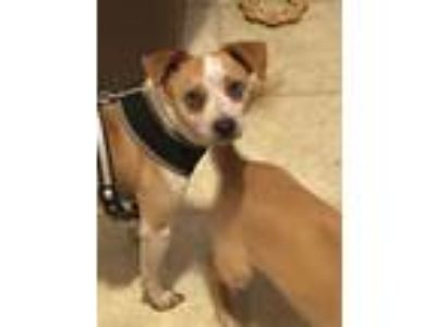 Adopt Maddie a Jack Russell Terrier