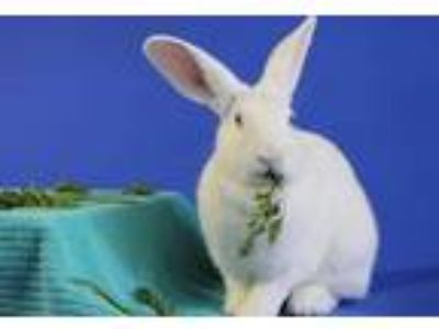 Adopt GEORGINA a White Other/Unknown / Mixed rabbit in Ft Lauderdale