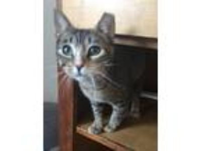 Adopt Toffee a Brown Tabby Domestic Shorthair (short coat) cat in Lafayette