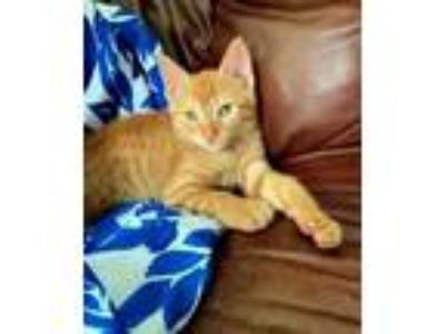 Adopt Princess Isabella a Orange or Red Domestic Shorthair / Mixed cat in