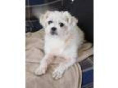 Adopt MAX FRIED (Freed) a Shih Tzu, Terrier