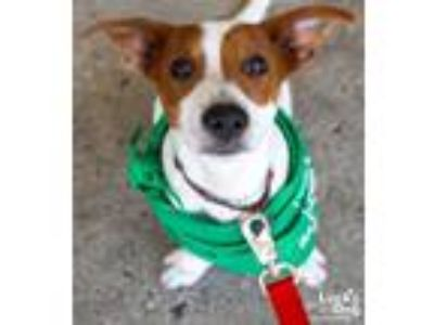 Adopt Penelope a White - with Red, Golden, Orange or Chestnut Beagle / Mixed dog