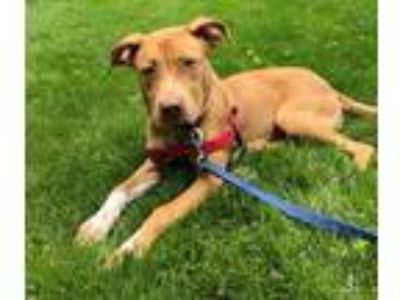 Adopt Saki a Tan/Yellow/Fawn American Staffordshire Terrier / Mixed dog in
