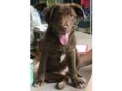Adopt Miso a Brown/Chocolate Labrador Retriever / Mixed dog in New Albany