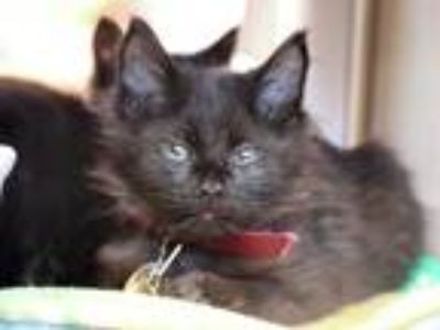 Adopt PECAN a Gray or Blue Domestic Longhair / Mixed (long coat) cat in Maryland