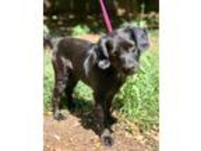 Adopt WALLACE a Black Spaniel (Unknown Type) / Mixed dog in Darien